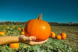 Pumpkin crop good